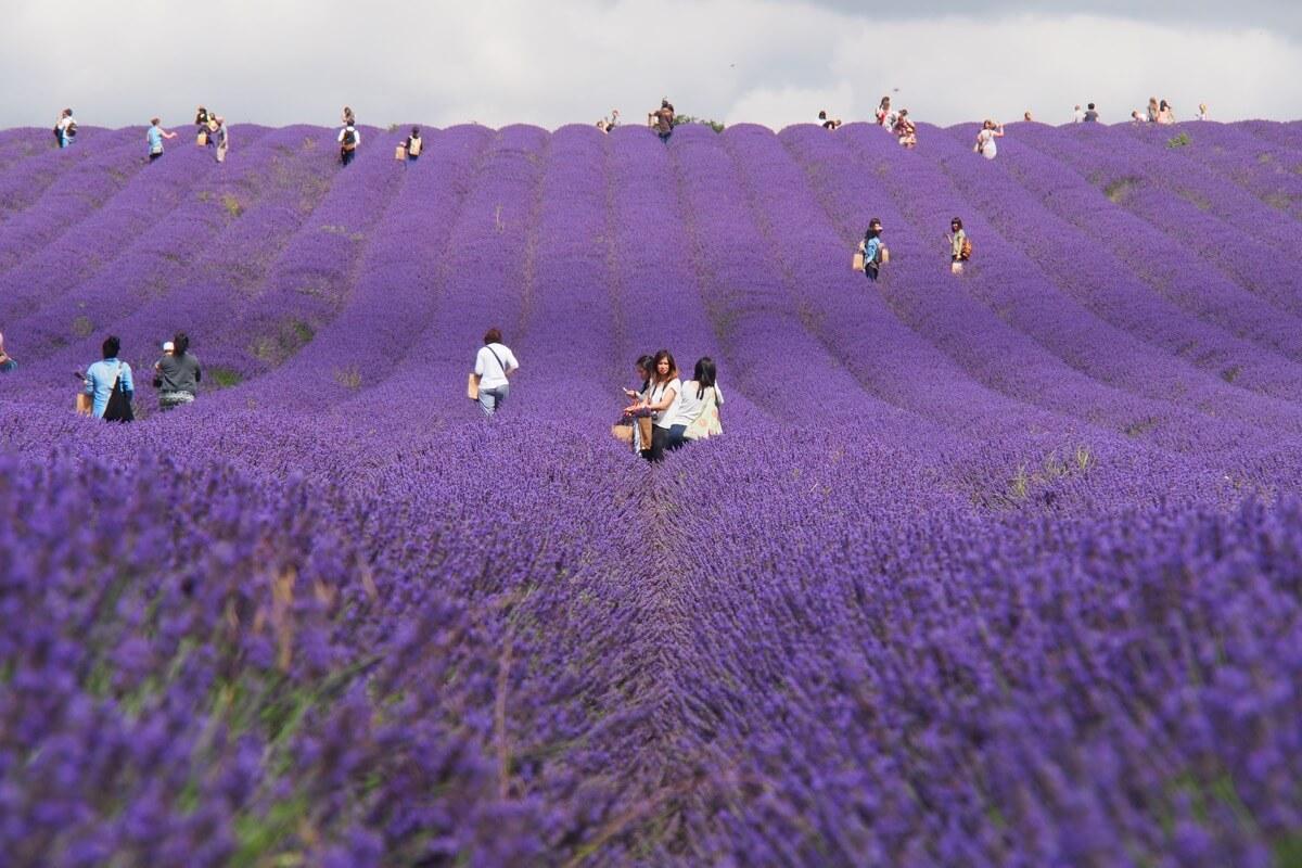 A carpet of purple blooms