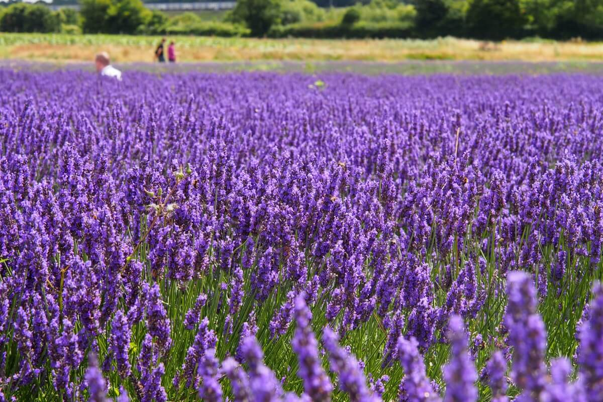 A sea of lavender waiting to be picked