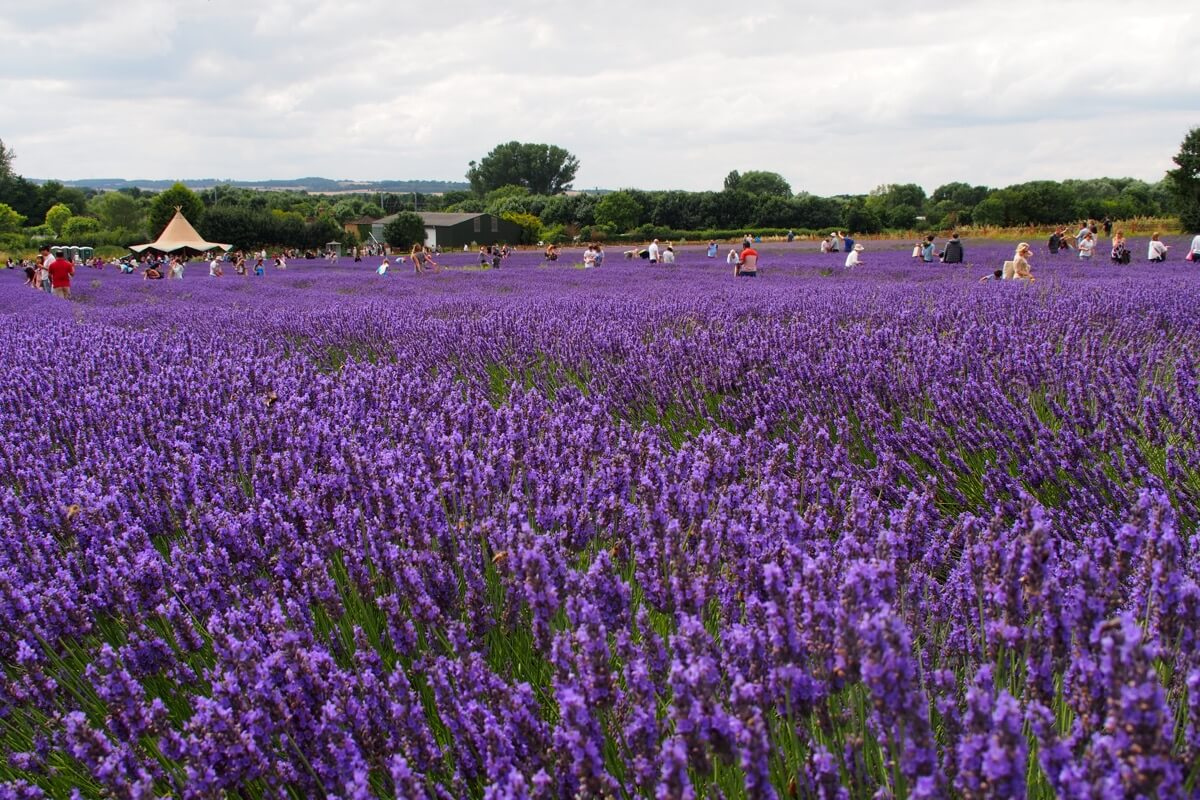 Visitors explore the lavender fields