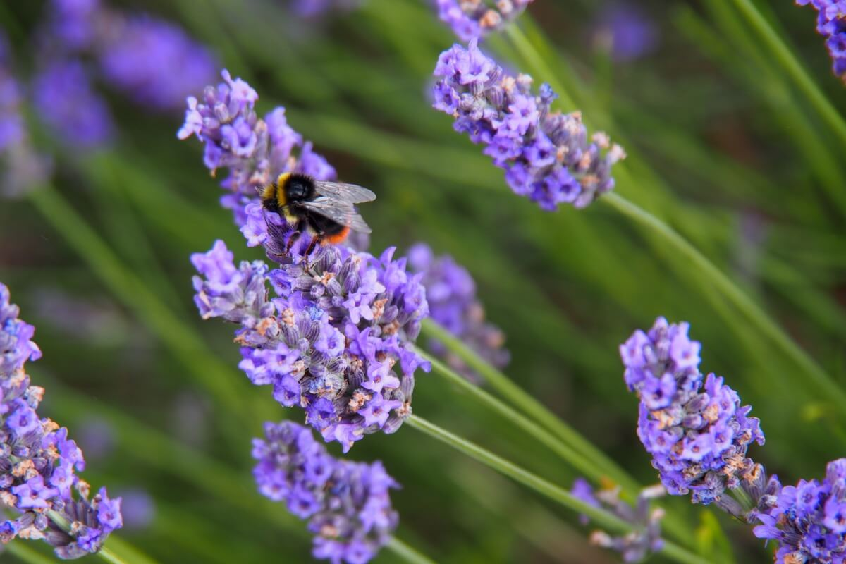 A bee collects nectar at Hitchin Lavender