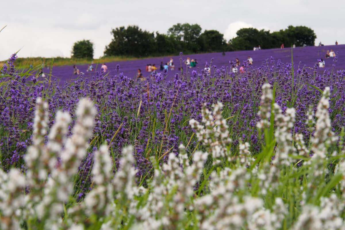 Not all the lavender at Hitchin Lavender is purple