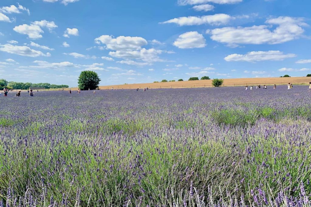 Fear not - Hitchin Lavender are keeping a close eye on visitor numbers