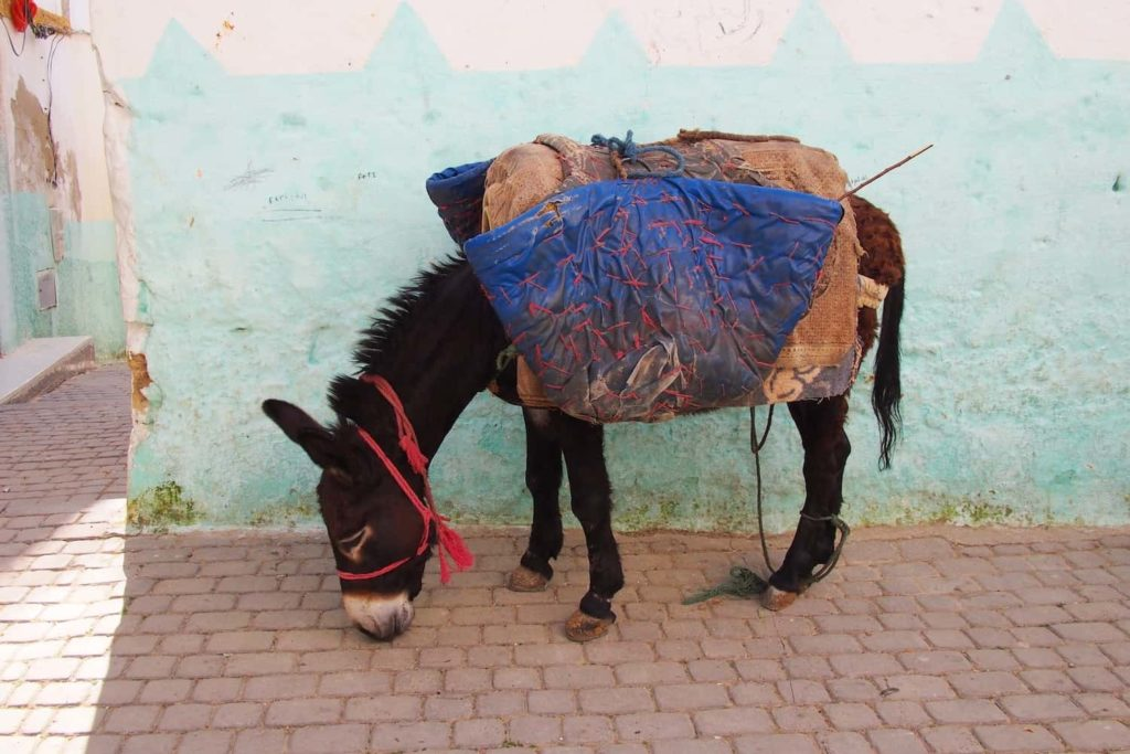 Donkeys are a common sight in Morocco, still often used for manual work