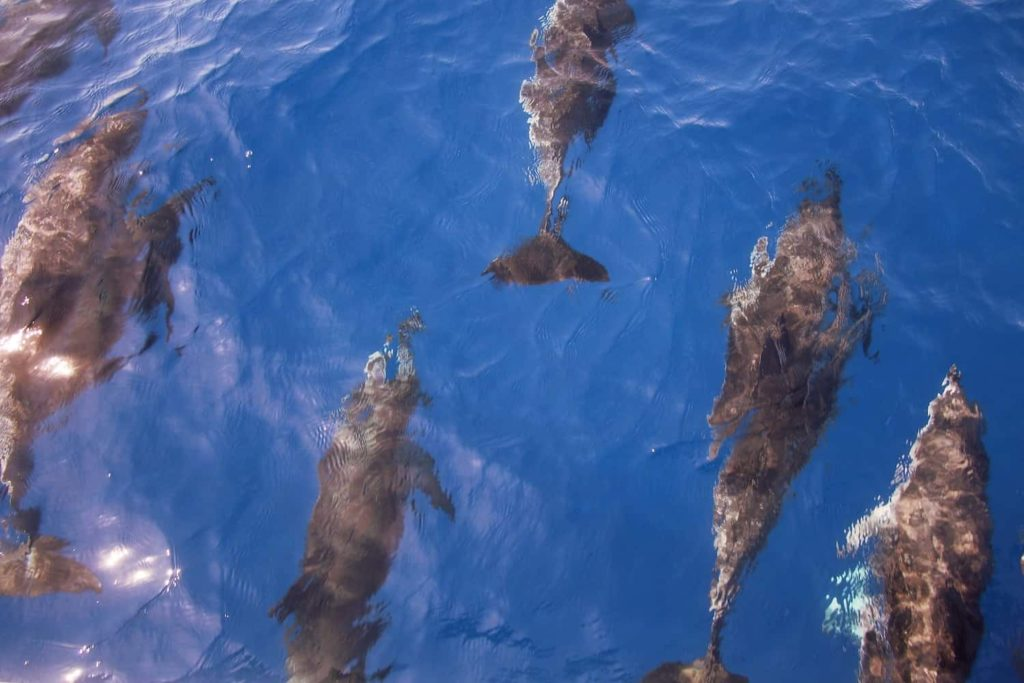 Wild dolphins, as seen off the coast of Madeira